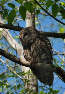 Barred Owl at Bruce Creek