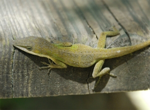 A Green Anole at Bruce Creek landing