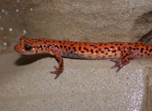 Cave Salamanders live near the entrance zone, where their insect prey is more plentiful