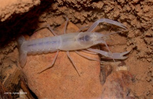 A Cave Crayfish--no pigment, no eyes