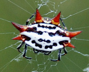 A Florida Crab spider
