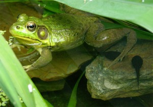 A male Green frog with last year's tadpoles