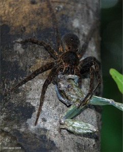 Lycosid spider eating a frog