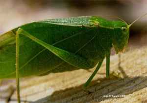 The Common Katydid of the Eastern USA. A decent leaf mimic.