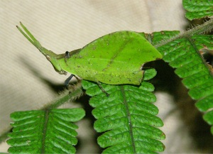 This is a grasshopper pretending to be a cryptic katydid. Photographed in Borneo