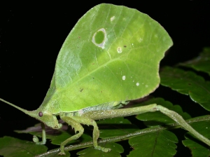 A leaf mimic katydid from the Peruvian Amazon
