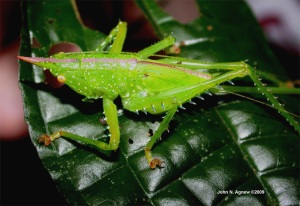 Another tough-guy katydid from Peru. I like the pink horn and stripe. A Unicorn Katydid?